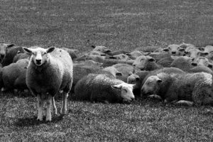 How to Build the Foundation for my Future Sheep standing up facing the other way than the rest of the flock being different.