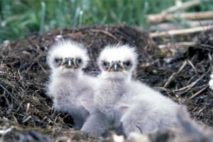 The Debt Trap Solved. Two little eagle hatchlings still in the nest and can't fly yet.